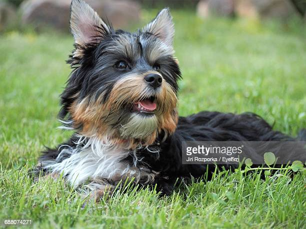 yorkshire terrier relaxing on grassy field - yorkshire terrier stock pictures, royalty-free photos & images