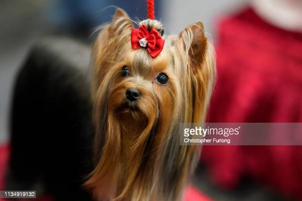 Yorkshire Terrier sits patiently as it is judged on the fourth day of Crufts Dog Show at National Exhibition Centre on March 10 2019 in Birmingham...