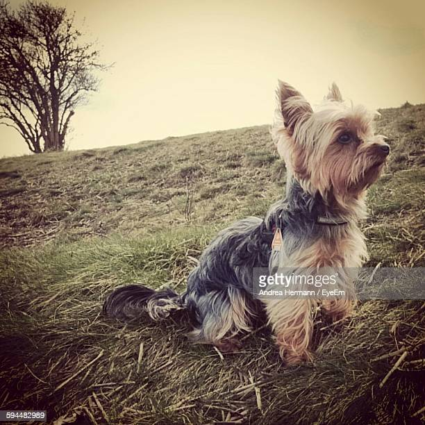 Yorkshire Terrier Sitting On Grassy Field Against Sky