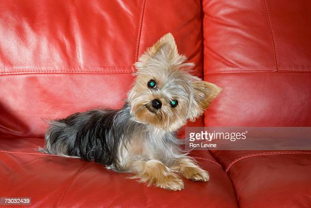 Yorkshire terrier sitting on sofa