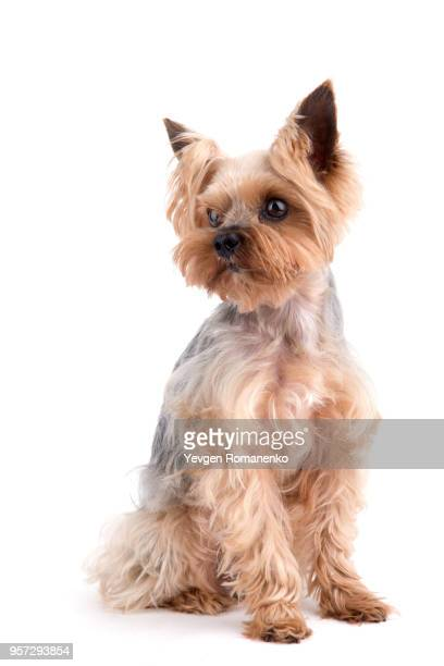 yorkshire terrier sitting on white background - yorkshire terrier stock pictures, royalty-free photos & images