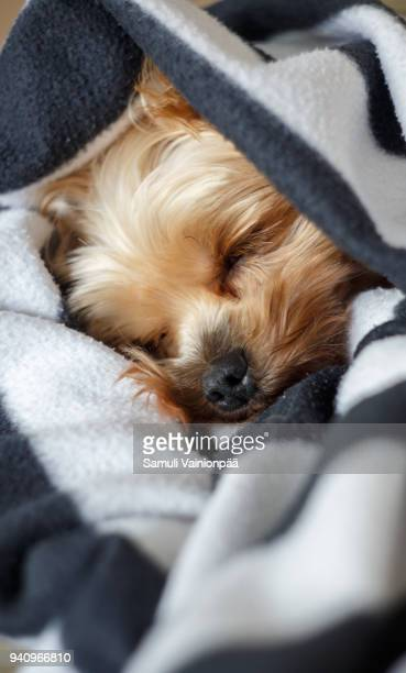 Yorkshire Terrier sleeping under a blanket