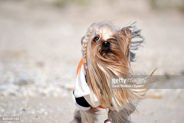 Yorkshire Terrier Standing On Field