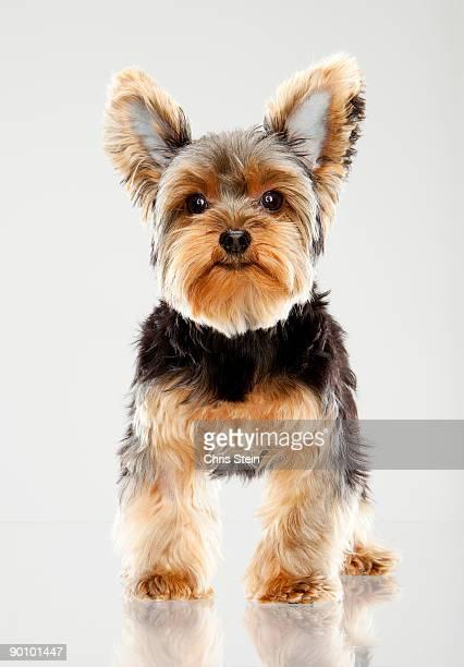Yorkshire Terrier Teacup portrait