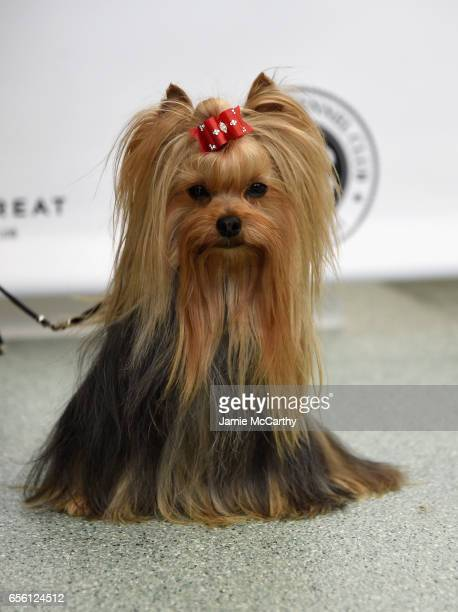 60 Top Yorkshire Terrier Pictures Photos And Images Getty Images