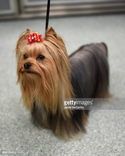 Yorkshire Terrier the 9th most popular breed of 2016 is shown at The American Kennel Club Reveals The Most Popular Dog Breeds Of 2016 at AKC Canine...