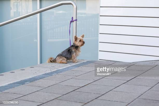 yorkshire terrier waiting outdoors - abandoned stock pictures, royalty-free photos & images