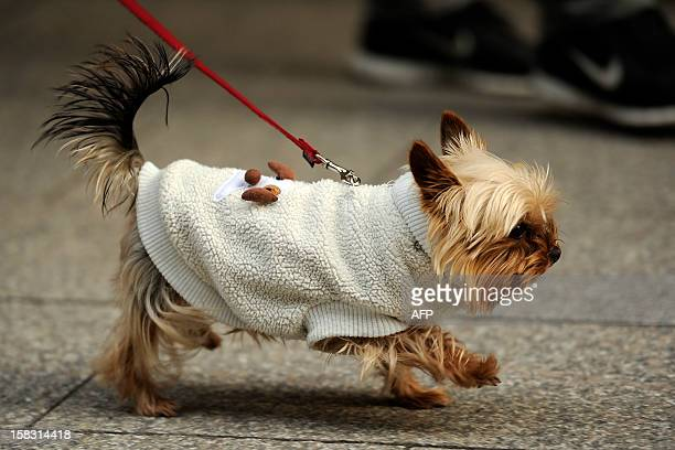A Yorkshire Terrier wears a warm outfit on December 13 2012 in Cologne AFP PHOTO / MARIUS BECKER /GERMANY OUT