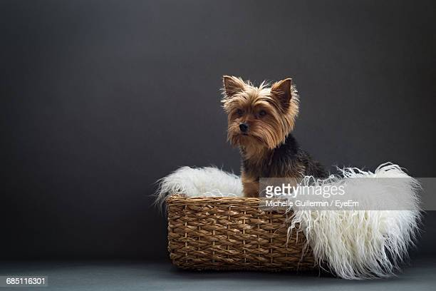 yorkshire terrier with white feather boa in basket against black background - feather boa stock pictures, royalty-free photos & images
