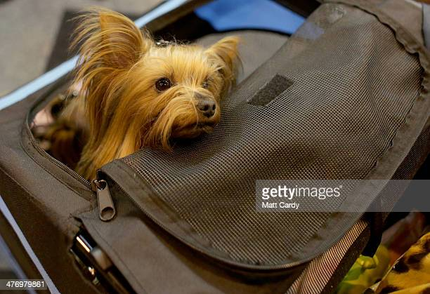 Yorkshire Terriers is pushed around the trade stands on the first day of Crufts dog show at the NEC on March 6 2014 in Birmingham England Said to be...