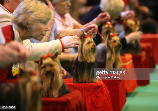 Yorkshire Terriers sit proudly for the judges during Crufts 2008 at the National Exhibition Centre on March 6 in Birmingham, England. During this...