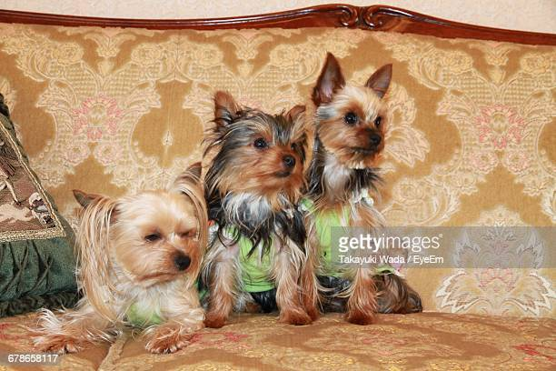 Yorkshire Terriers Sitting On Sofa At Home