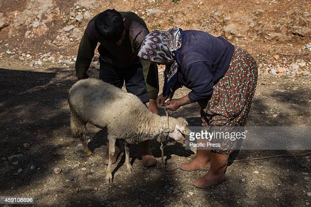 Yoruk shepherd Ozay Ogan helps his mother Ummu hanim to tie a sheep during the nomadic familys seasonal migration to the lower grazes on coastal hills