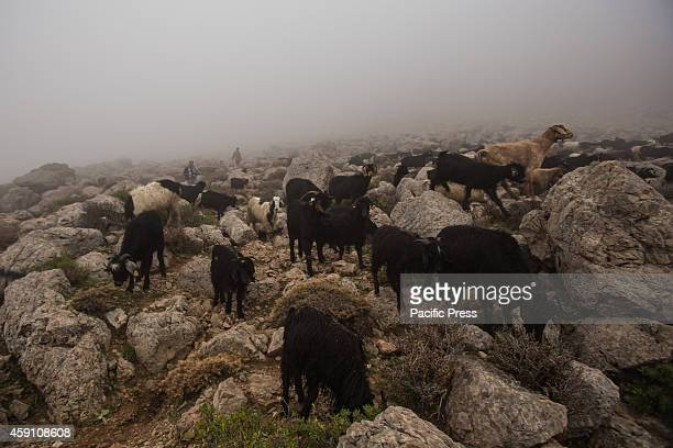 Yoruk shepherds Ozcan and Ozay Ogan follow their goats in the fog descending the southern rim of the Taurus Mountains during the seasonal migration...