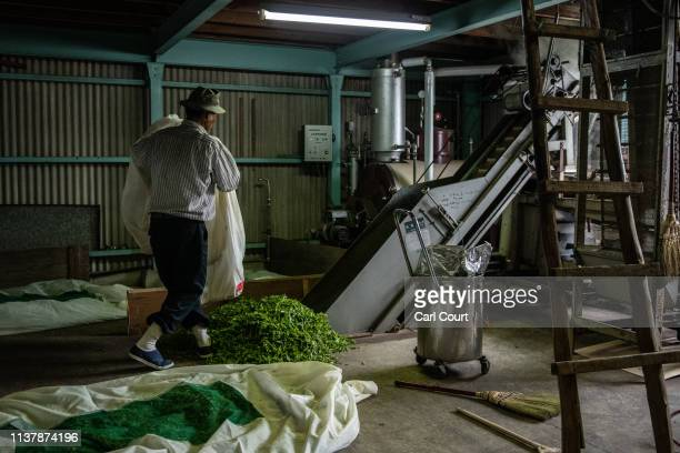 Yoshio Moriuchi feeds freshly picked tea leaves into a machine that will process them ready for consumption ahead of auction, on April 18, 2019 in...