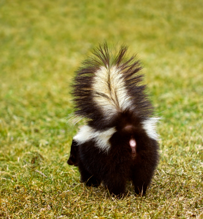 You Don't Wanna Be Here Striped Skunk 176806953