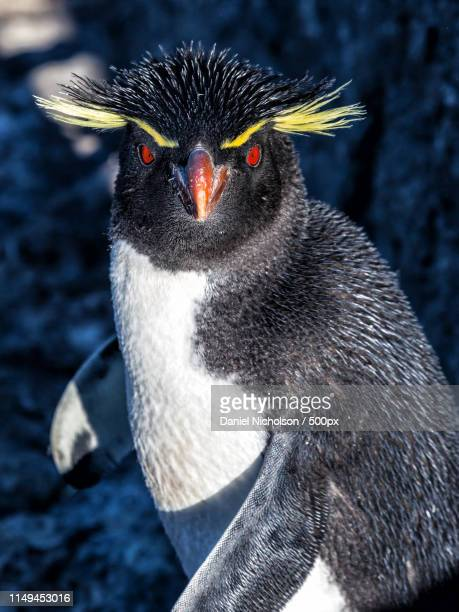 you lookin' at me - rockhopper penguin stock pictures, royalty-free photos & images