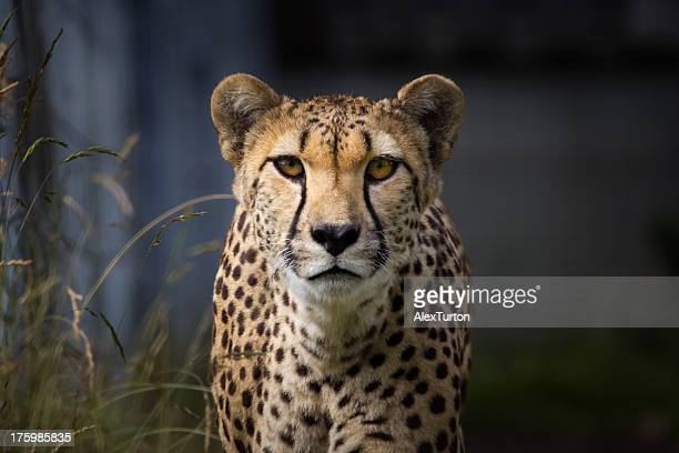you lookin' at me - dark panthera stock pictures, royalty-free photos & images