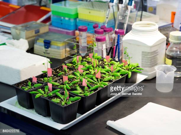 You plant of arabidopsis thaliana in a laboratory of molecular biology realizing works of extraction of DNA in plants. Spain.