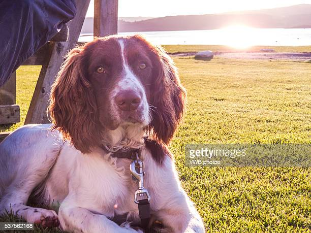 yound springer spaniel relaxing by loch fyne at sunset - english springer spaniel stock pictures, royalty-free photos & images