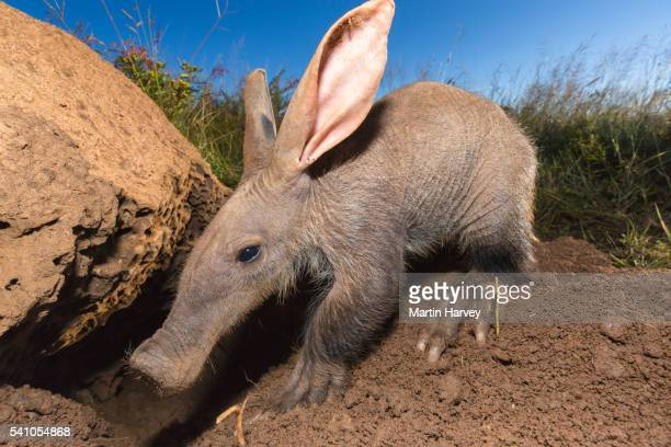 young aardvark(orycteropus afer)looking for ants and termites.namibia - aardvark stock pictures, royalty-free photos & images
