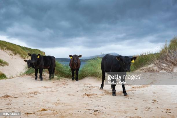 Young Aberdeen Angus cattle stand in dune landscape at the Cape of Balnakeil, Durness, Caithness, Sutherland and Easter Ross, Scotland, United Kingdom