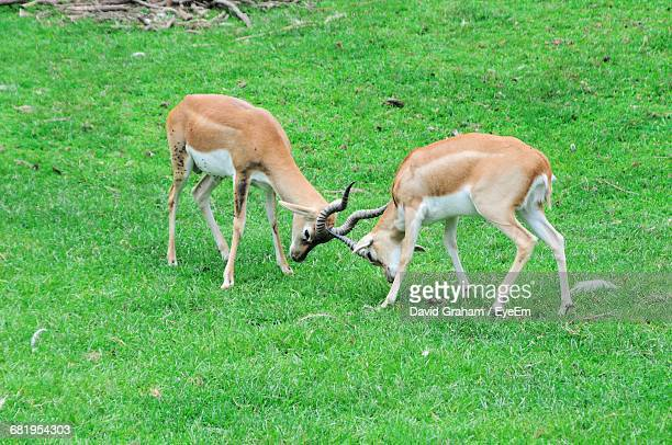 Young Addax Fighting On Grassy Field