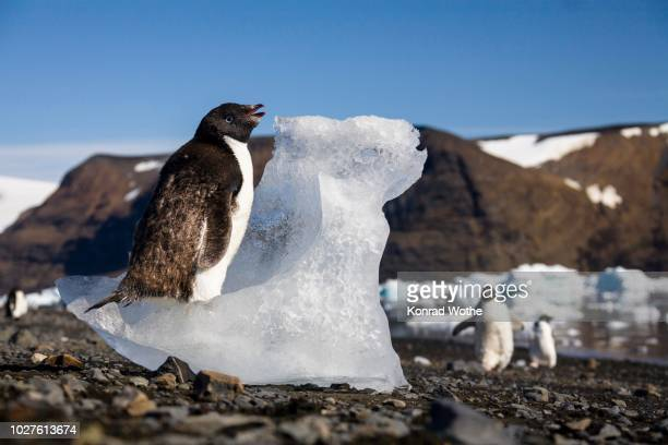 young adelie penguin (pygoscelis adeliae) moulting and eating ice, devil island, weddell sea - weddell sea - fotografias e filmes do acervo