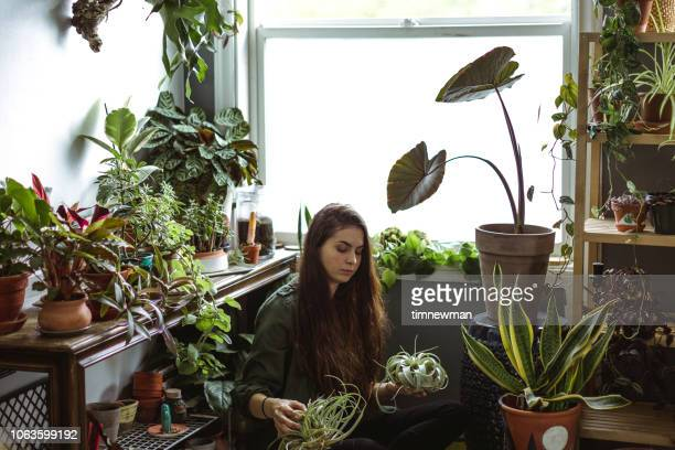 young adult woman at home watering indoor house plants - hanging basket stock pictures, royalty-free photos & images