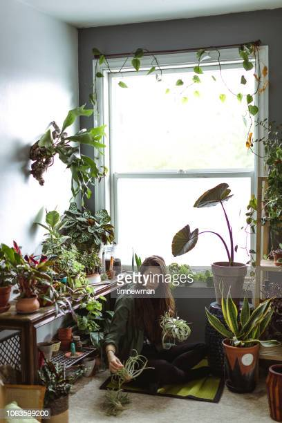 young adult woman at home watering indoor house plants - houseplant stock pictures, royalty-free photos & images