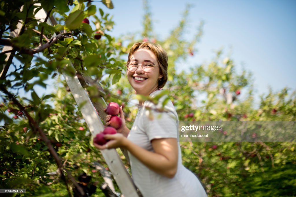 Young adult woman picking up apples in orchard. : Stock Photo
