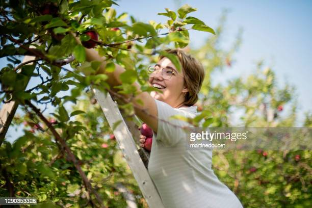 "young adult woman picking up apples in orchard. - ""martine doucet"" or martinedoucet stock pictures, royalty-free photos & images"