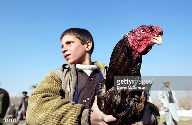 A young Afghan boy holds his fathers fighting cock March 7 2003 prior to a cockfight in the Baghe Babor garden in Kabul Afghanistan Considered a form...