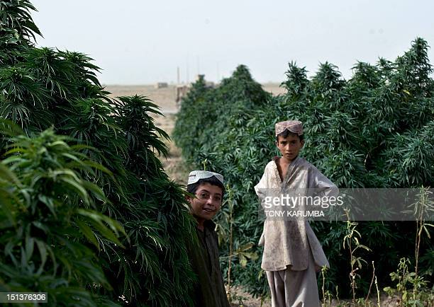 Young Afghani boys play in a marijuana field near Morghan-Kecha village where soldiers from the 1st Platoon, 1-64 Armoured Batallion, US Army -...