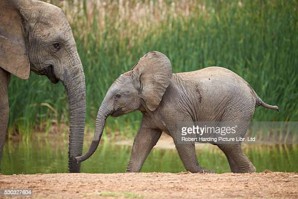 Young African Elephant (Loxodonta africana), Addo Elephant National Park, South Africa