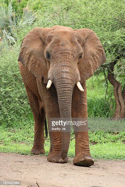 young african elephant facing front on, deep green bushy background - elephant face stock photos and pictures