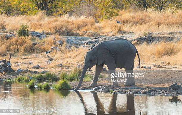 young african elephant -loxodonta africana- drinking at the nuamses waterhole, etosha national park, namibia - waterhole stock pictures, royalty-free photos & images
