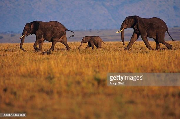 Young African elephant (Loxodonta africana), walking with adults, Kenya