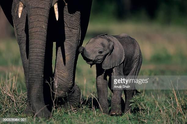 Young African elephant (Loxodonta africana),walking with mother,Kenya