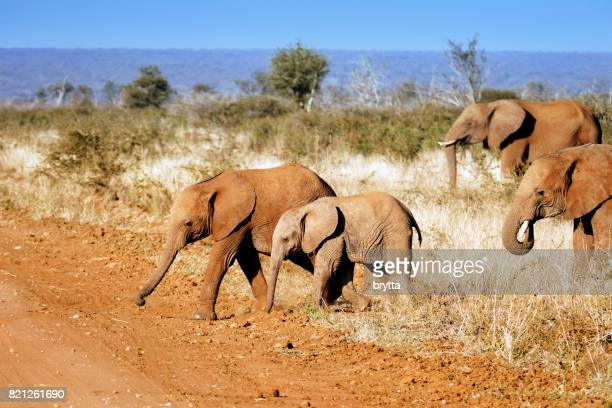 Young  African elephants covered with red sand crossing the dirt road in the Madikwe Game Reserve in South Africa