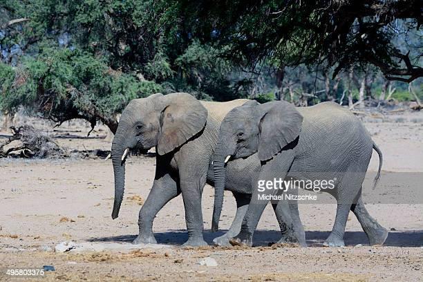 young african elephants -loxodonta africana-, desert elephants, damaraland, kunene region, namibia - desert elephant stock pictures, royalty-free photos & images
