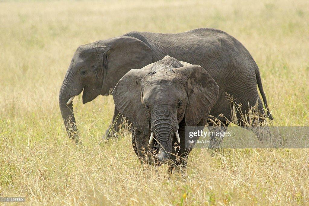 Jovem elefantes africanos : Foto de stock