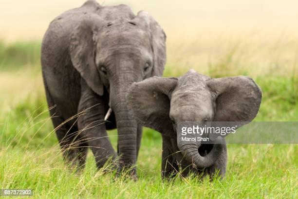 Young African Elephants.