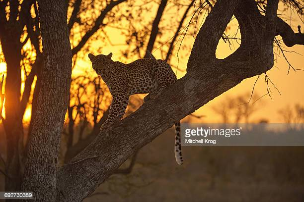 young african leopard sitting in leadwood tree backlit by the sunset in sabi sands reserve, greater kruger national park, south africa - mpumalanga province stock pictures, royalty-free photos & images