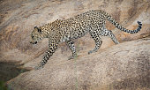 young african leopard strolls over river
