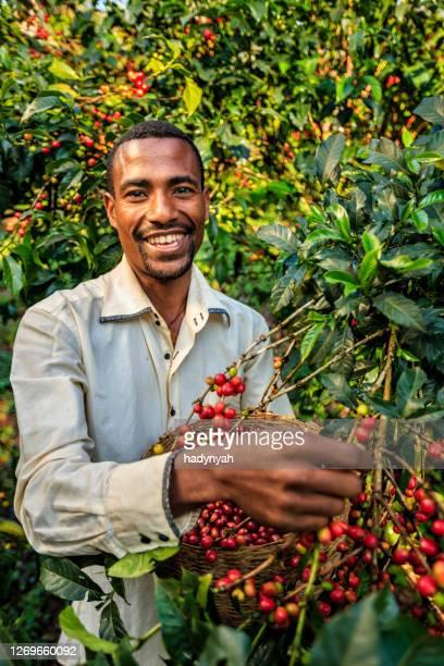 young african man collecting coffee cherries, east africa - café colheita imagens e fotografias de stock