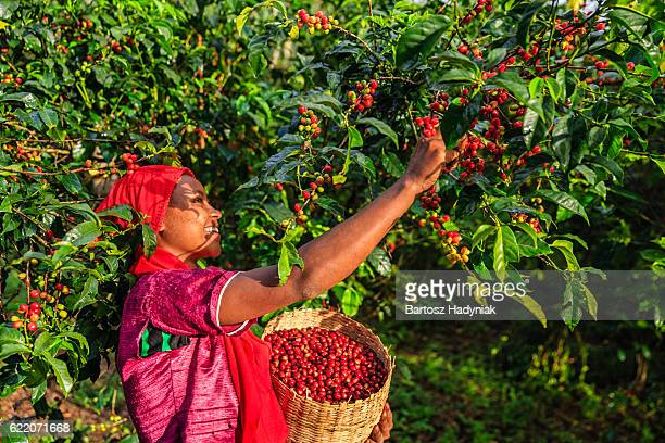 young african woman collecting coffee cherries, east africa - ethiopia stock photos and pictures