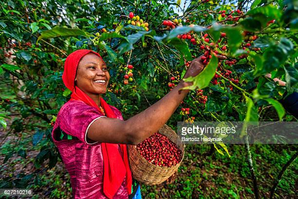 young african woman collecting coffee cherries, east africa - afrika stockfoto's en -beelden