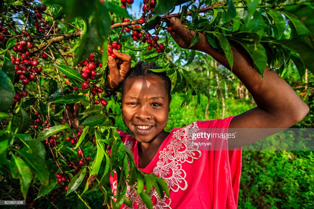 Young African woman collecting coffee cherries, East Africa : Stock Photo
