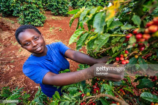 young african woman collecting coffee cherries, kenya, east africa - east africa stock photos and pictures